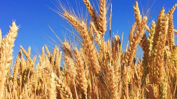 wheat-863392_960_720-e1465456020889-696x389.jpg