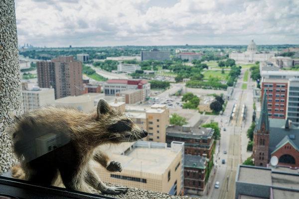 14xp-raccoon2-articleLarge.jpg